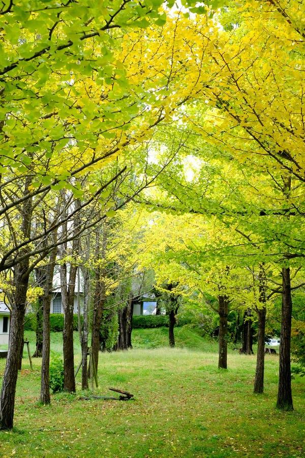 Fila del árbol amarillo del ginkgo en Kawagujika, Japón imagen de archivo libre de regalías