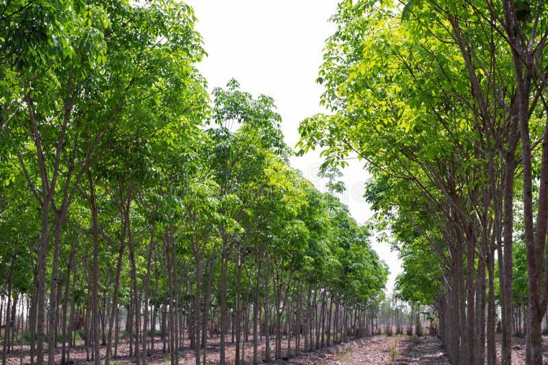 Fila del árbol de goma agrícola El verde del brasiliensis de la Hevea deja el fondo foto de archivo libre de regalías