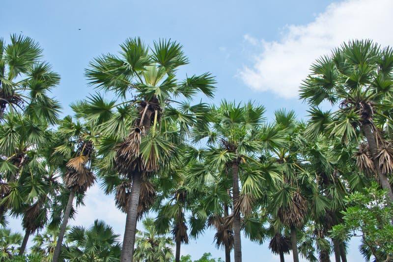 Fila della pianta della palma nell'uso del parco per il giardino ed il parco decorati immagini stock libere da diritti