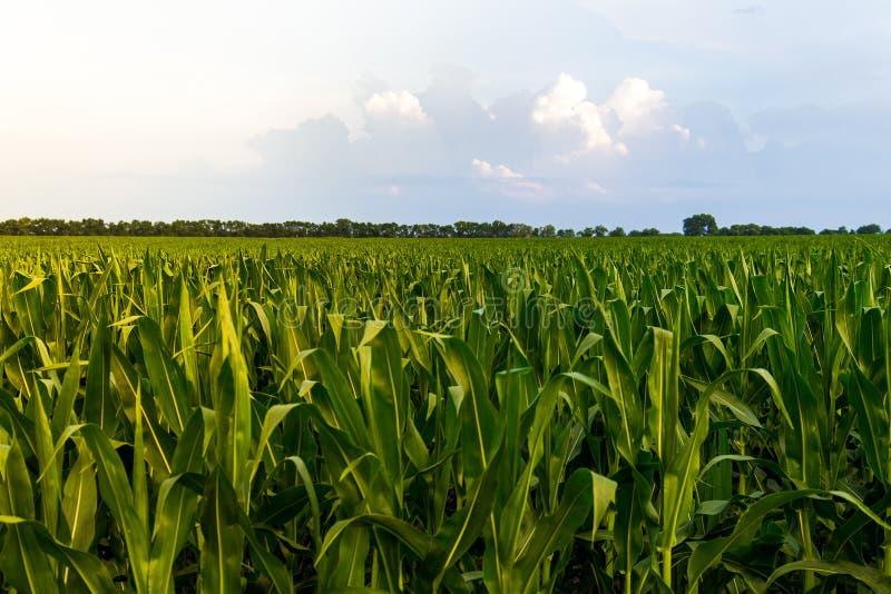 Fila di cereale verde sotto cielo blu ad alba/tramonto immagini stock