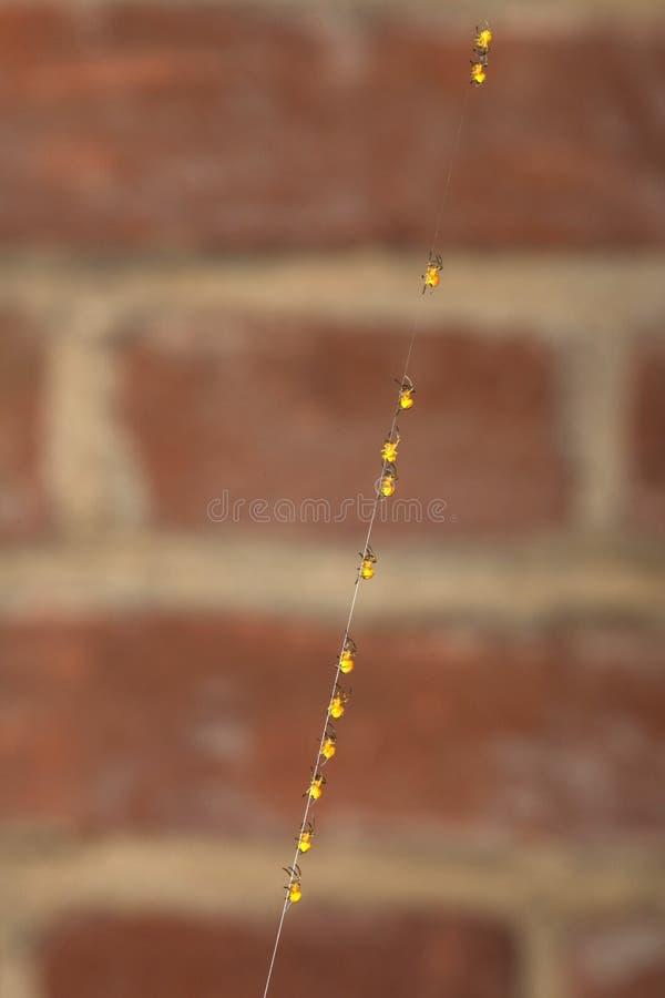 Fila di piccoli ragni che scalano davanti al muro di mattoni fotografie stock libere da diritti