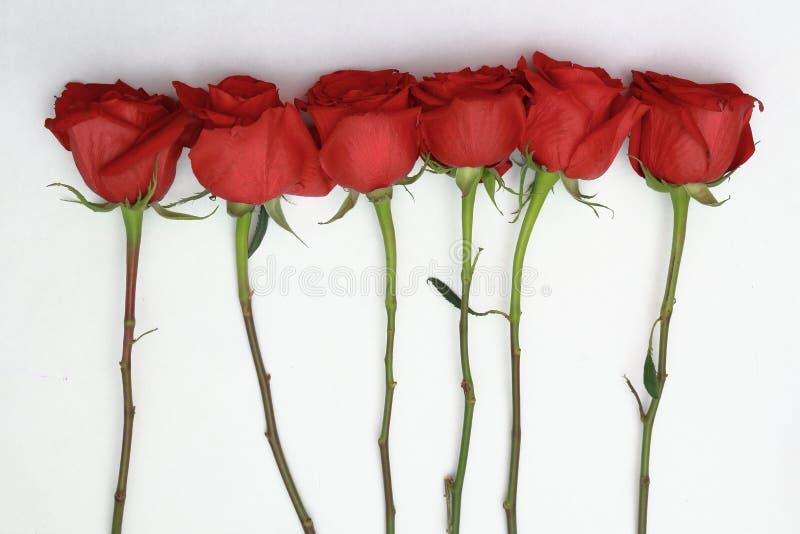 Fila di rose rosse su fusti con fondo bianco fotografia stock