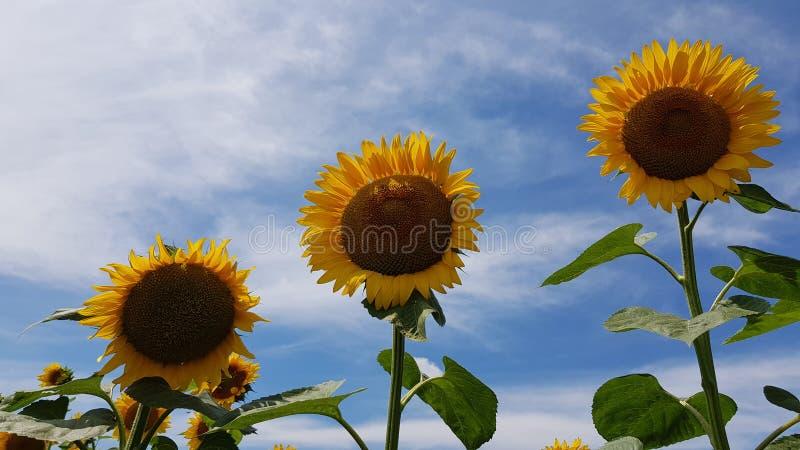 Fila diagonal de tres girasoles florecientes en fondo del cielo azul Flores del círculo con los pétalos amarillos que brillan en  imagenes de archivo