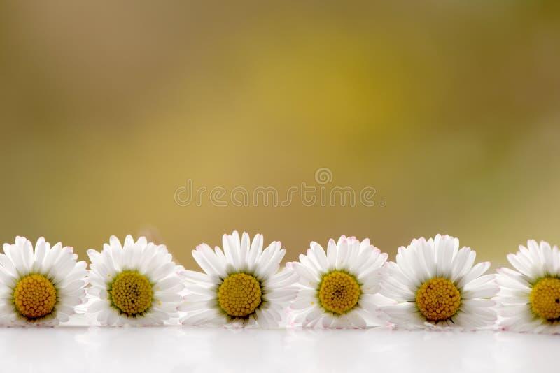 Fila horizontal de las margaritas blancas con la reflexión imágenes de archivo libres de regalías