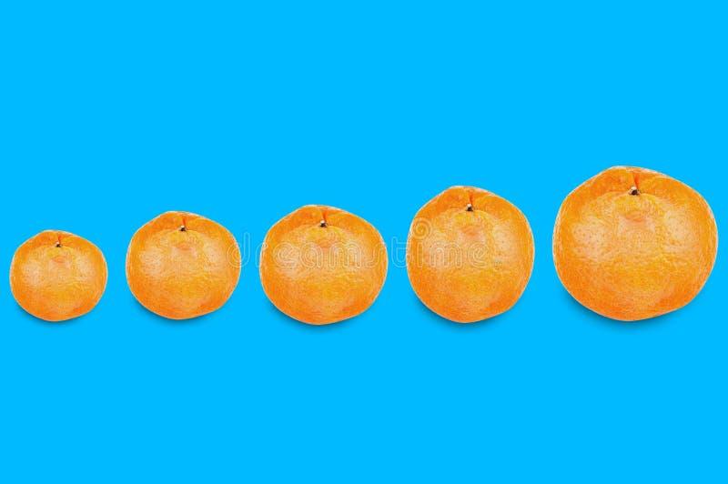 Fila orizzontale di interi mandarini arancio deliziosi freschi da piccolo a grande su fondo blu illustrazione di stock