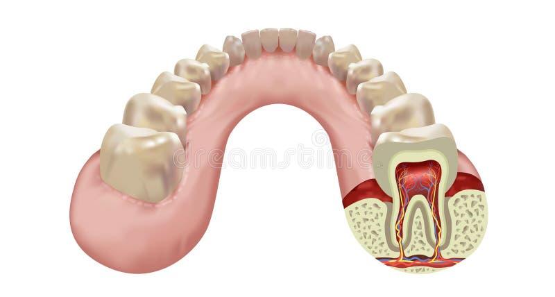 Fila umana dei denti della mandibola più bassa illustrazione vettoriale