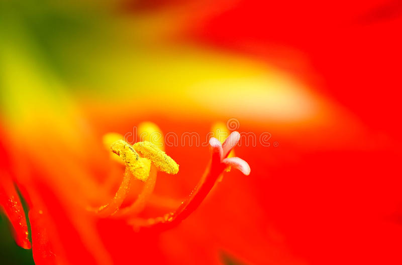 Filament of Lily flower royalty free stock photos