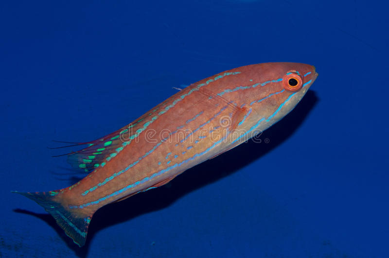Filamented Flasher Wrasse Male stock image