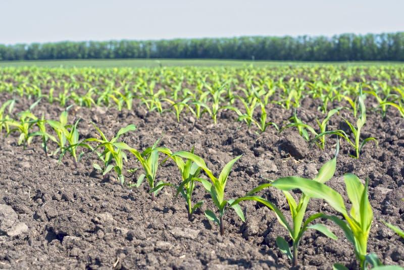 Filas aseadas de los lanzamientos jovenes del maíz en una fase de cinco hojas contra un cielo azul fotografía de archivo libre de regalías