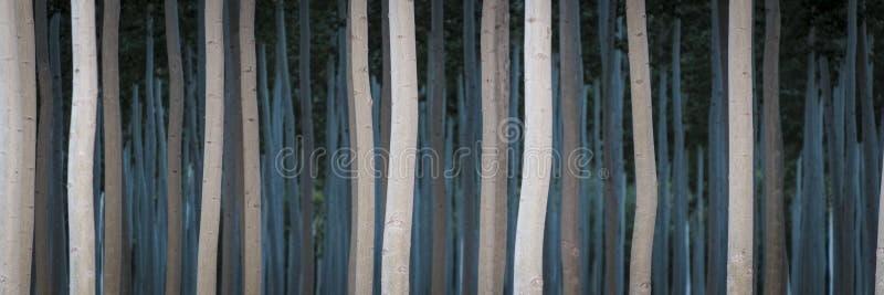 Filas de álamos en una plantación maderera foto de archivo