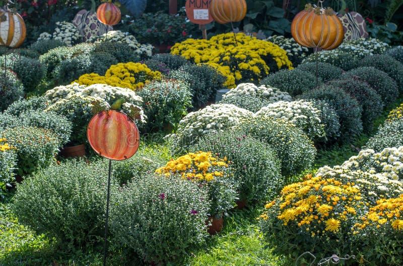 Filas de crisantemos hermosos en un mercado al aire libre foto de archivo libre de regalías