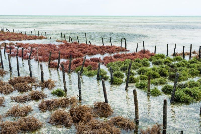 Filas de la alga marina en una granja de la alga marina imágenes de archivo libres de regalías