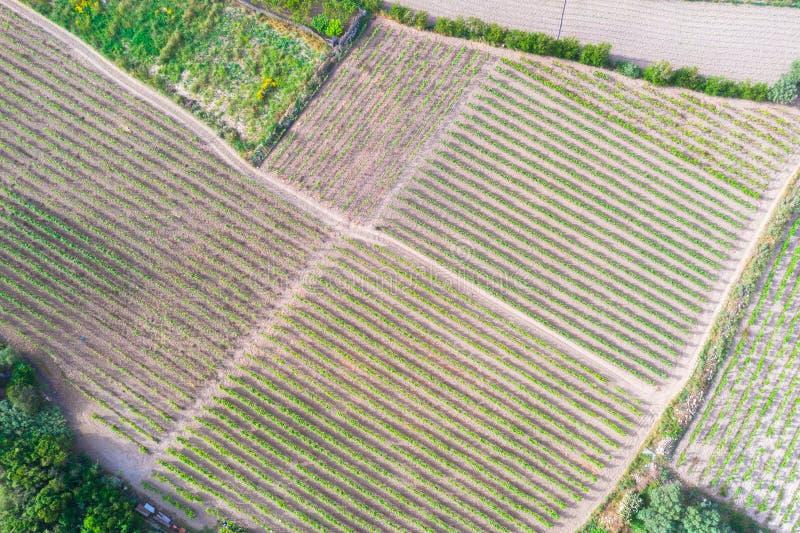 Filas de la opinión aérea superior joven de las vides de uva de los almácigos sobre campos del viñedo fotografía de archivo libre de regalías