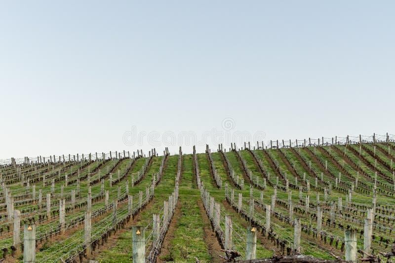 Filas de la producción del viñedo imagenes de archivo