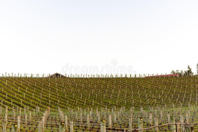 Filas de la producción del viñedo fotos de archivo
