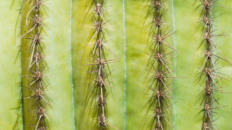 Filas de la textura del fondo de las agujas del cactus imagen de archivo libre de regalías