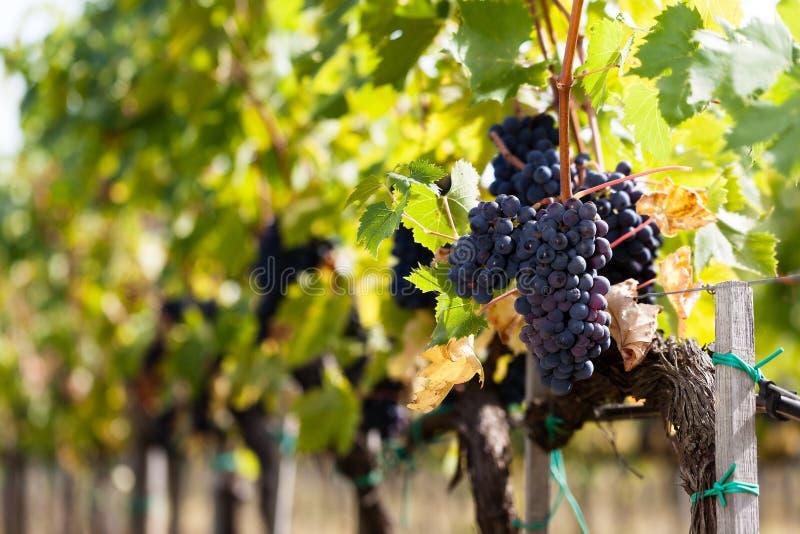 Filas de la uva de Sangiovese fotografía de archivo libre de regalías