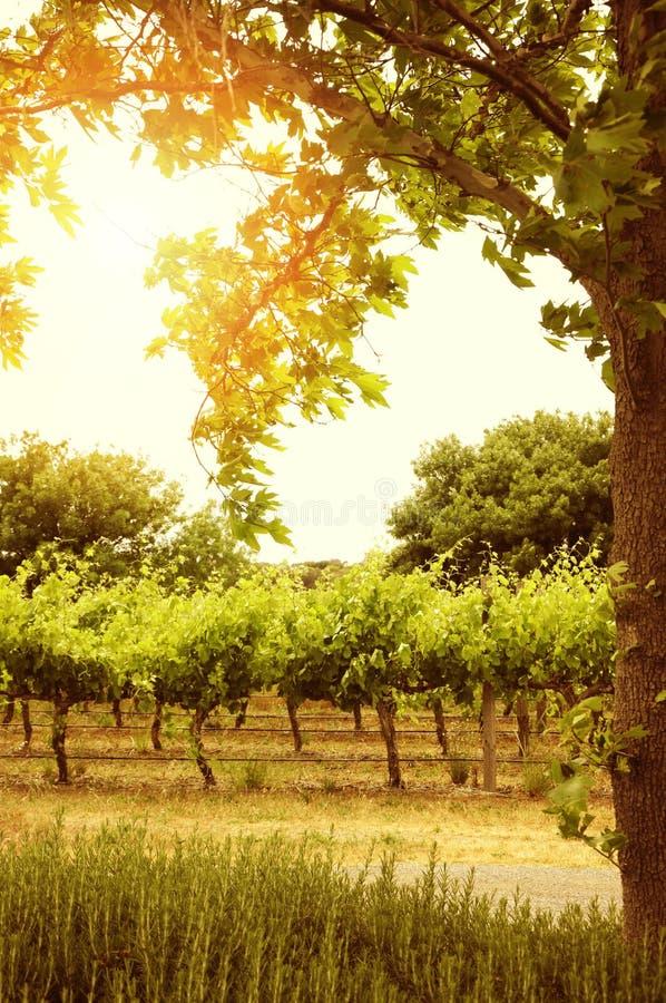Filas de la vid con el sol a través del árbol fotos de archivo