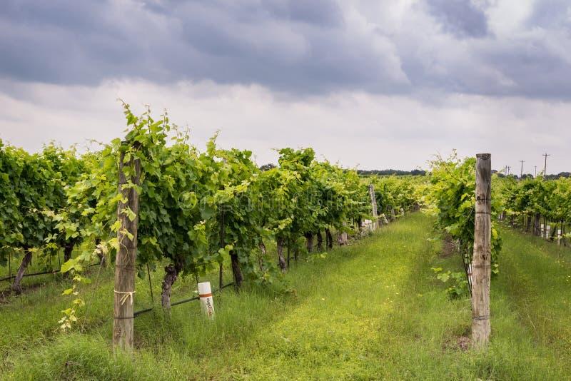 Filas de la vid en el vinyard de Texas Hill Country fotos de archivo libres de regalías
