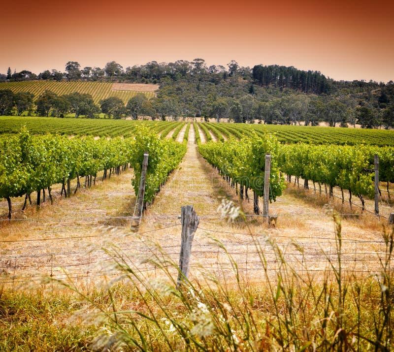 Filas de la vid tomada en el lagar primero del crecimiento del vino de Australia - puesta del sol imagen de archivo libre de regalías