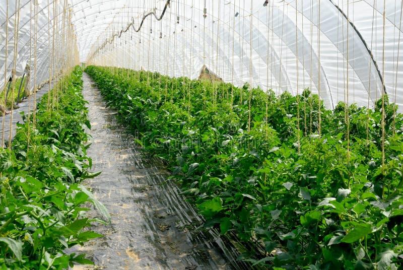 Filas de las plantas de tomate en un invernadero