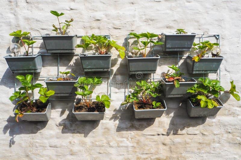Filas de las plantas de fresa en una ejecución vertical del jardín en una pared foto de archivo libre de regalías