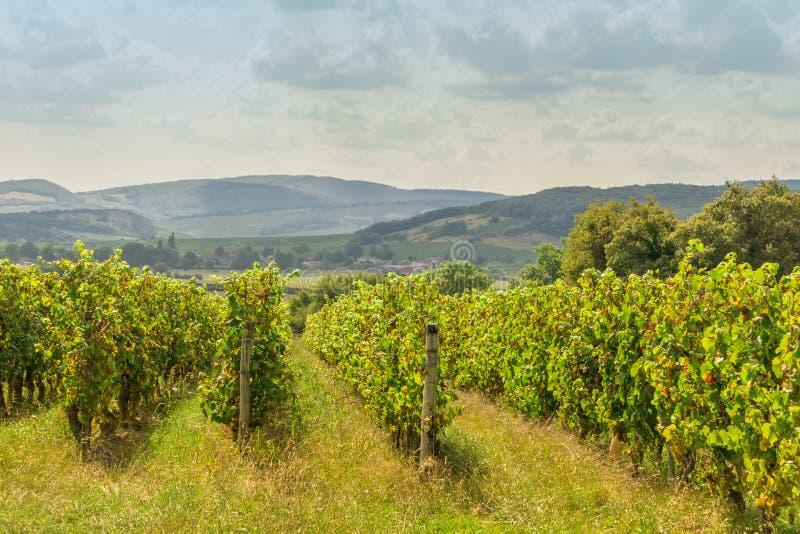 Filas de las plantas de la uva del viñedo con el cielo nublado en Borgoña, Francia, paisaje hermoso foto de archivo libre de regalías