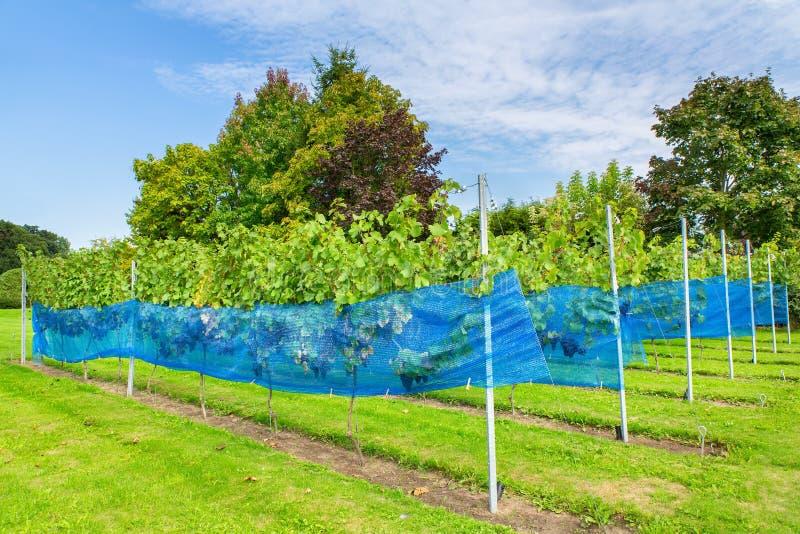 Filas de las plantas de la uva en viñedo holandés fotos de archivo
