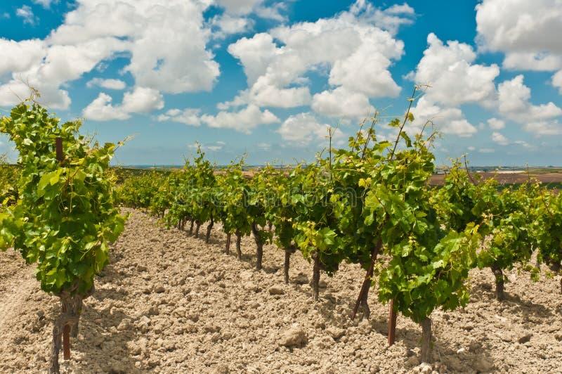 Filas de las plantas de vid de uva en un viñedo de un lagar en España fotos de archivo