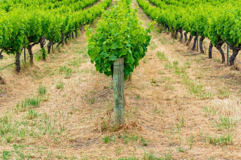 Filas de las plantas de vid de uva en viñedo fotografía de archivo