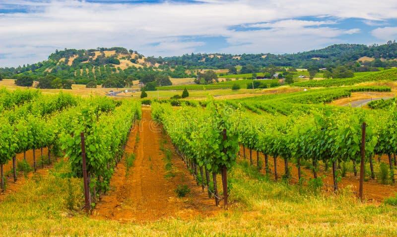 Filas de las vides de uva en el valle de desatención de la colina de viñedos fotografía de archivo