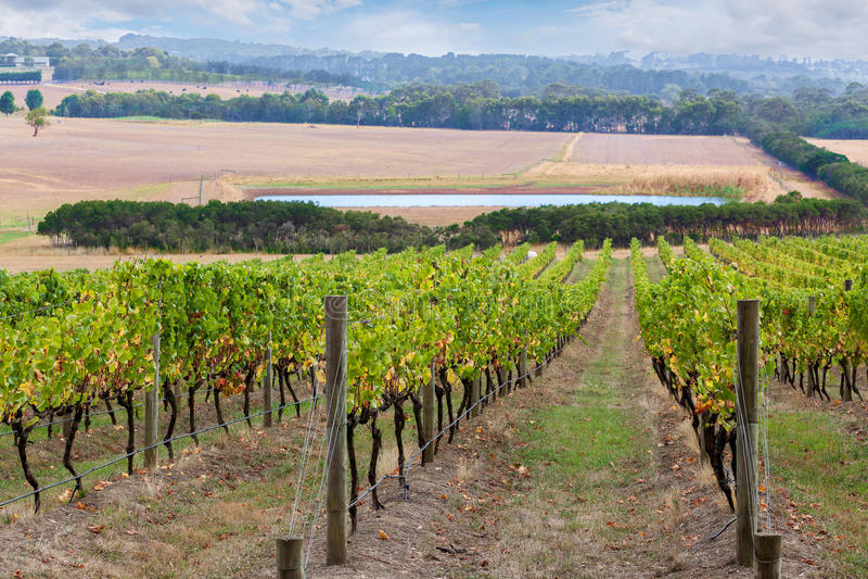 Filas de las vides de uva que van abajo de la colina foto de archivo