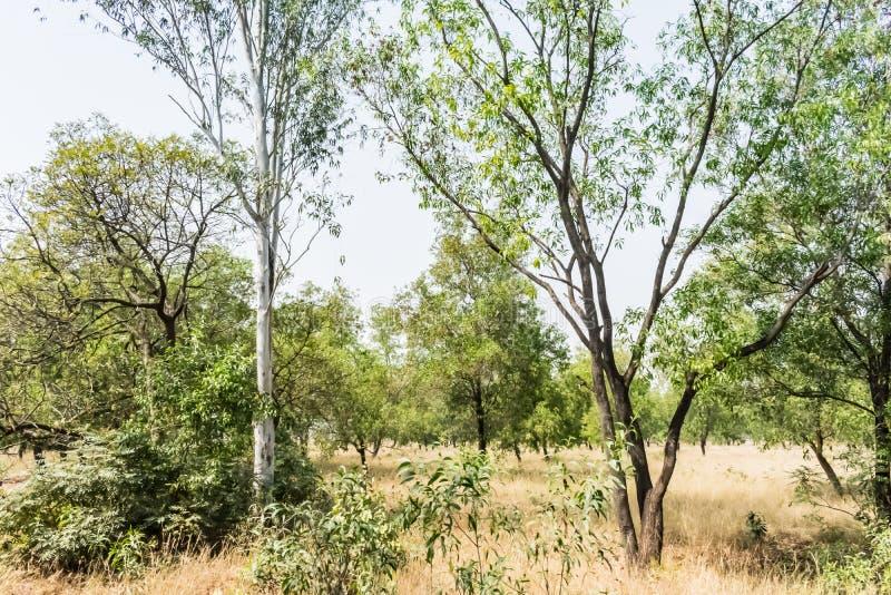 Filas de los árboles de eucalipto cerca de un bosque que parece impresionante por mañana fotos de archivo