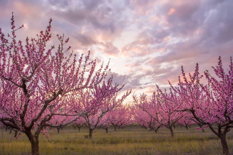 Filas de los árboles florecientes del melocotón con las flores rosadas imagenes de archivo