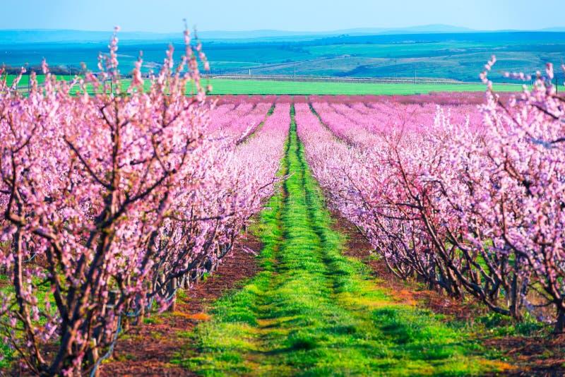 Filas de los árboles de melocotón del flor en jardín de la primavera fotos de archivo libres de regalías