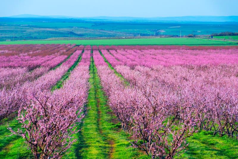 Filas de los árboles de melocotón del flor en jardín de la primavera imágenes de archivo libres de regalías