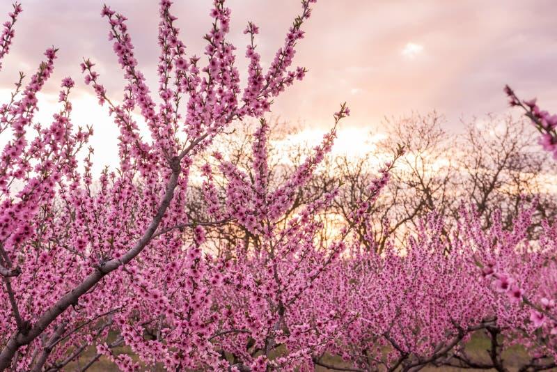Filas de los árboles de melocotón florecientes de la primavera con las flores rosadas fotografía de archivo libre de regalías