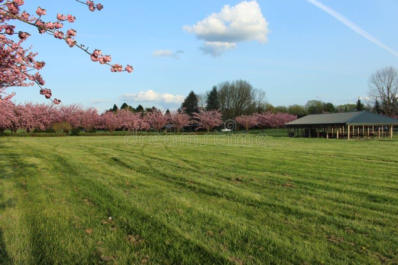 Filas de los árboles que tienen flores rosadas en un campo verde foto de archivo