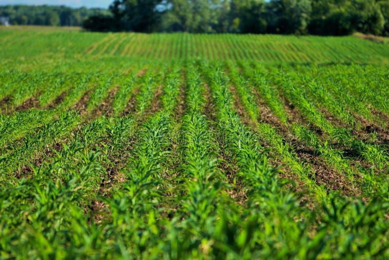 Filas de los campos de maíz verde con las colinas y los árboles imagen de archivo libre de regalías
