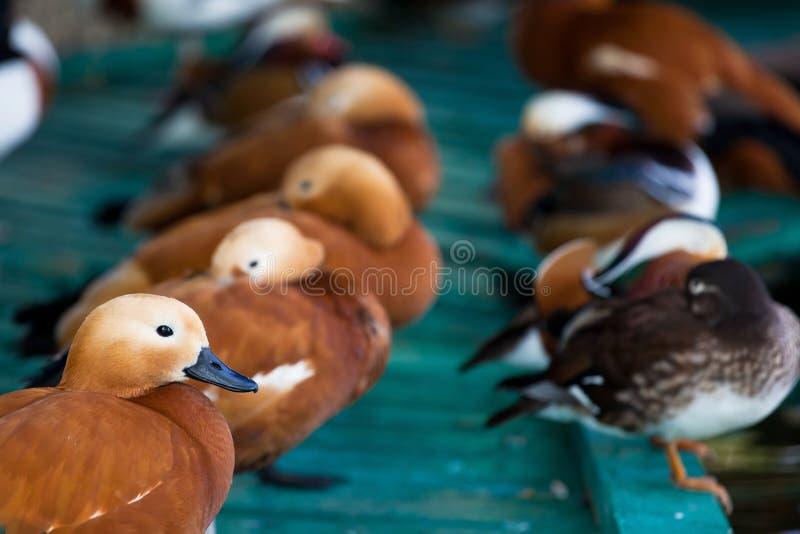 Filas de patos coloridos fotografía de archivo