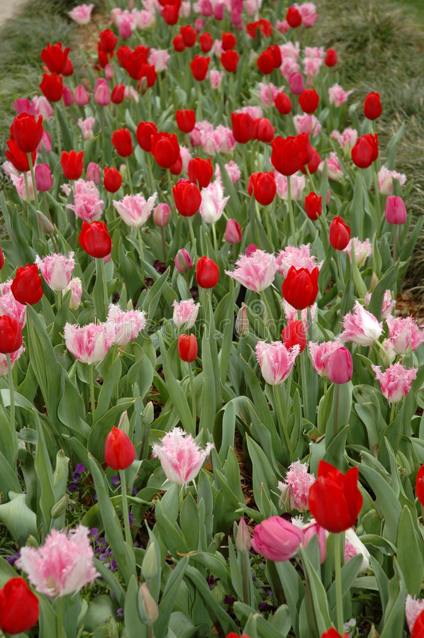 Filas de tulipanes rojos imagen de archivo libre de regalías