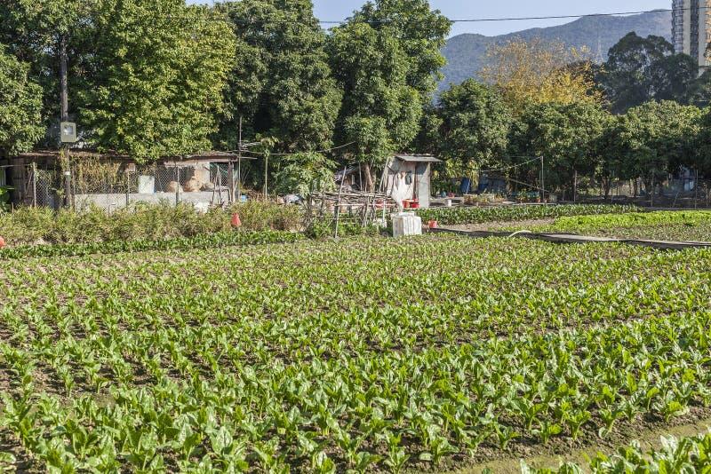 Filas de verduras en tierras de labrantío fotografía de archivo