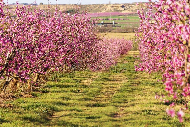 Filas del árbol de melocotón en la floración, con las flores rosadas en la salida del sol Aitona alcarras, Torres de Segre Agricu imagen de archivo