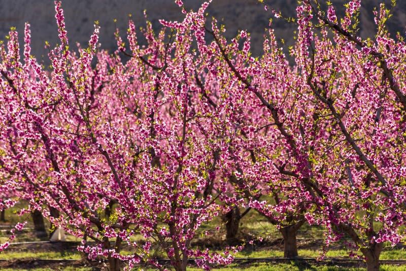 Filas del árbol de melocotón en la floración, con las flores rosadas en la salida del sol Aitona alcarras, Torres de Segre Agricu fotografía de archivo