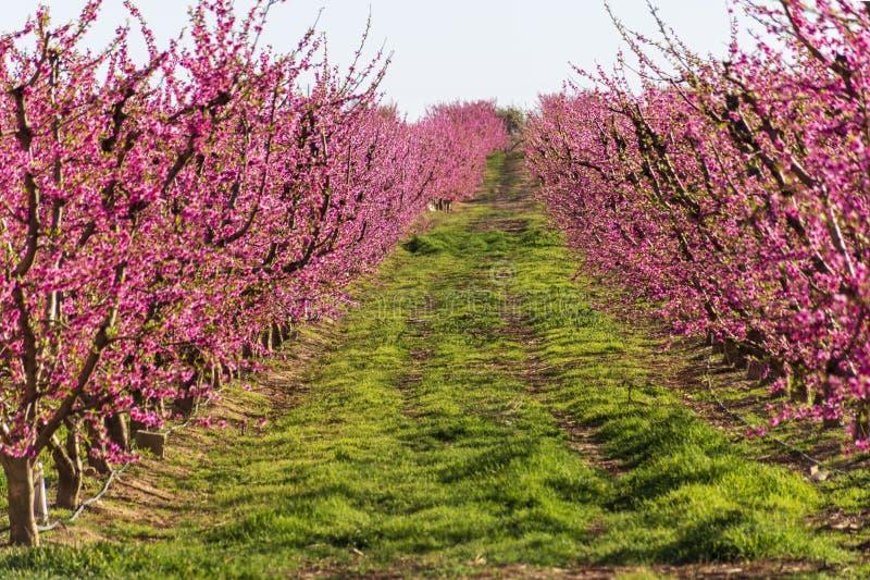 Filas del árbol de melocotón en la floración, con las flores rosadas en la salida del sol Aitona alcarras, Torres de Segre Agricu fotos de archivo libres de regalías