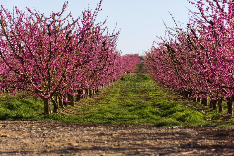 Filas del árbol de melocotón en la floración, con las flores rosadas en la salida del sol Aitona alcarras, Torres de Segre Agricu fotos de archivo