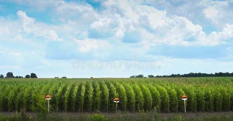Filas del campo de maíz con la muestra en el borde de indicar la variedad imagen de archivo libre de regalías