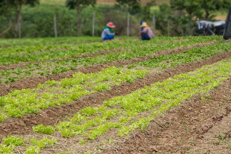 Filas del crecimiento de verduras orgánico fresco en la granja foto de archivo