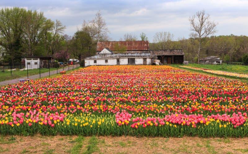 Filas del festival de Haymarket VA de los tulipanes imagenes de archivo