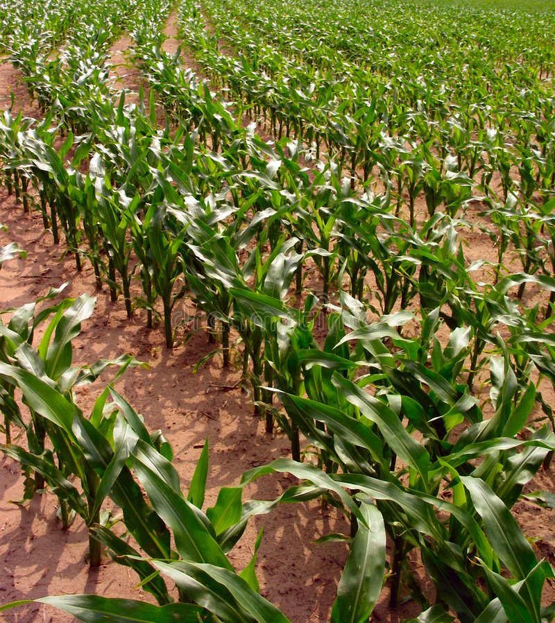 Filas del maíz foto de archivo